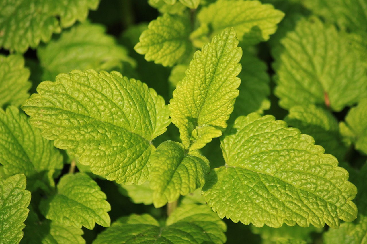 Lemon Balm - Herbal Remedies for Stress Relief